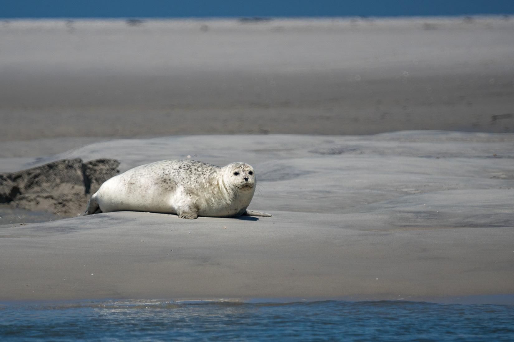 Auf Seehundsafari im Wattnmeer